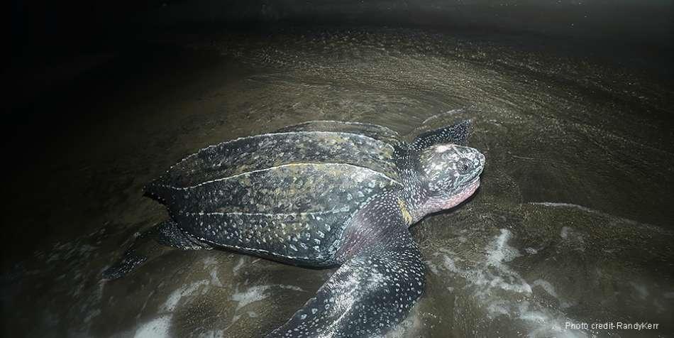 Dominica | Lederrücken-Schildkröte nach der Eiablage | © Rosalie Bay Resort / Randy Kerr