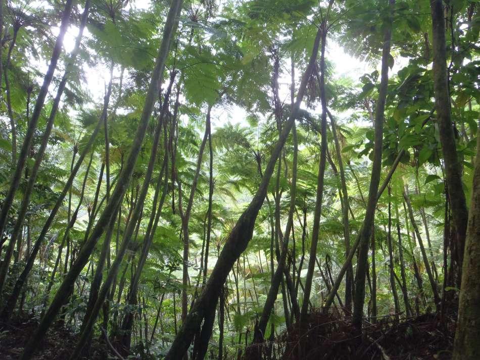 Dominica   Baumfarnwald am Segment 7 des WKT   © Tamarind Tree Hotel