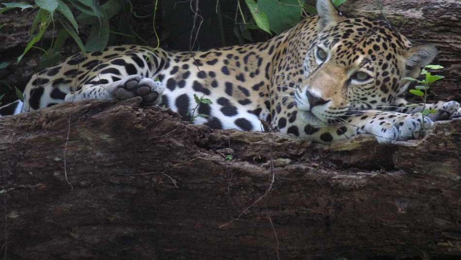 Belize | Jaguar auf Banana Bank | © Banana Bank Lodge