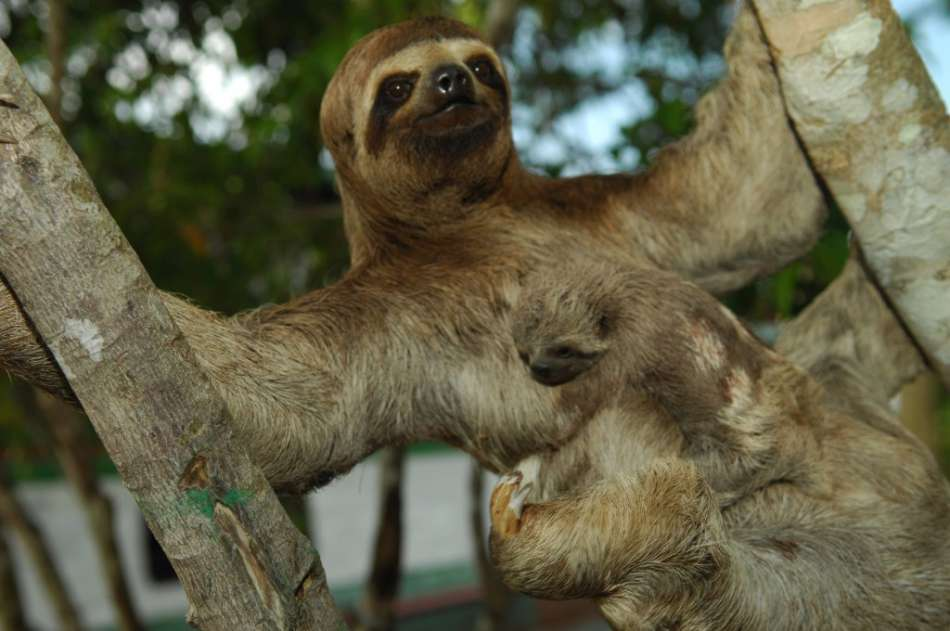 Peru | Dreifinger - Faultier | © Aqua Expeditions