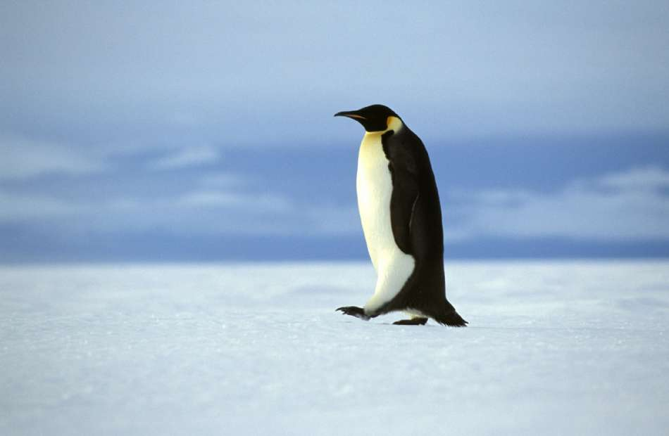 Antarktis | Kaiser-Pinguin | © Oceanwide Expeditions