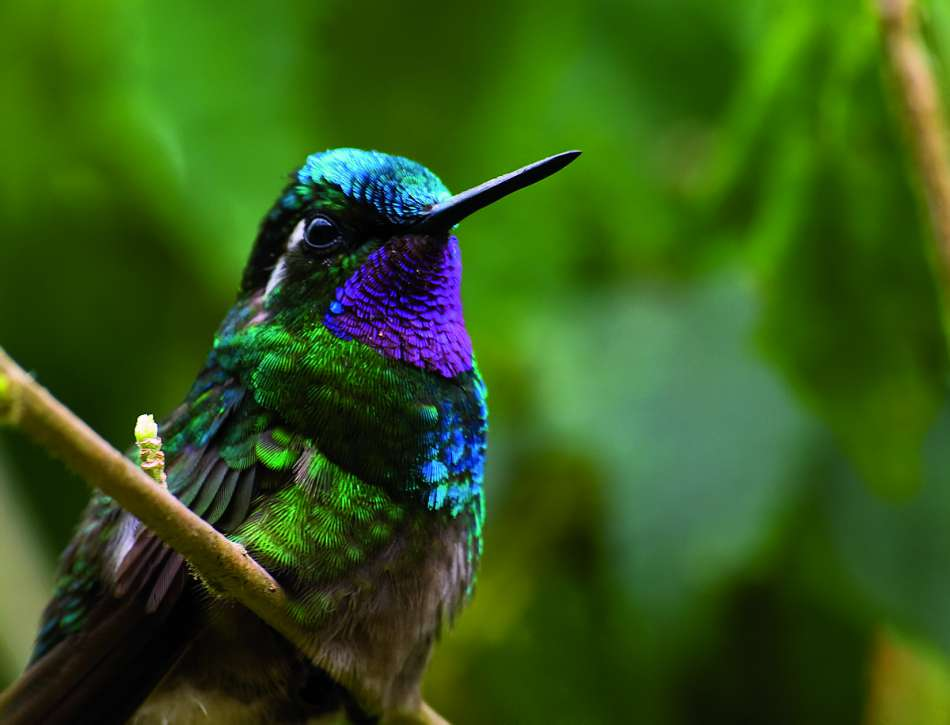 Costa Rica | Violetter Kolibri | © Ara Tours