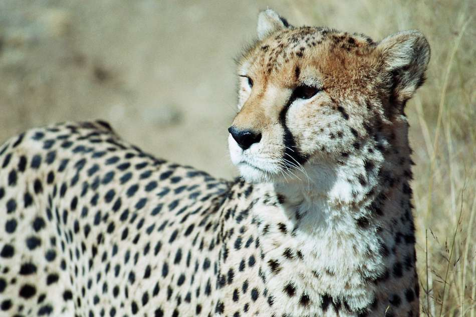 Namibia | Gepard | © Karibik Inside